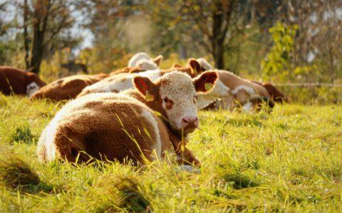 Der Rinderzüchter und das Tierhaltungsverbot