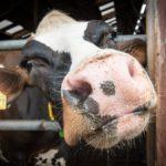 150 Rindern nach Usbekistan
