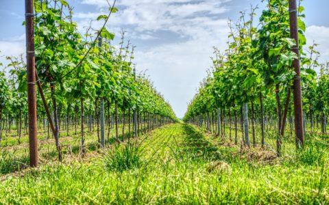 Wiederbepflanzungsrechte im Weinbau