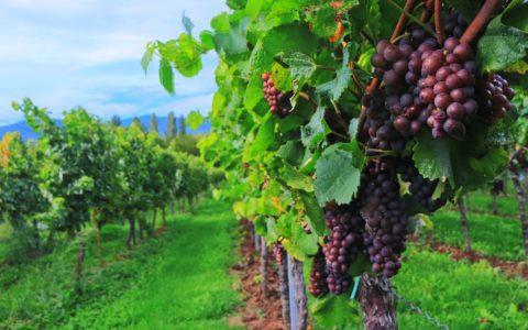 Prüfungsnummer-Rücknahme beim Wein